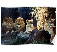 Taronga Zoo Lion Pride Poster