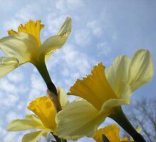Daffodils & Sky by TabithaPayne