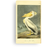 James Audubon Vector Rebuild - The Birds of America - From Drawings Made in the United States and Their Territories V 1-7 1840 - American White Pelican Canvas Print