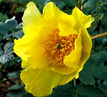 Golden Tree Paeony by jacqi