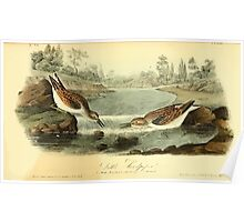 James Audubon Vector Rebuild - The Birds of America - From Drawings Made in the United States and Their Territories V 1-7 1840 - Little Sandpiper Poster