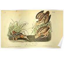 James Audubon Vector Rebuild - The Birds of America - From Drawings Made in the United States and Their Territories V 1-7 1840 - American Woodcock Poster