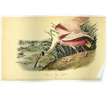 James Audubon Vector Rebuild - The Birds of America - From Drawings Made in the United States and Their Territories V 1-7 1840 - Roseate Spoonbill Poster