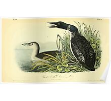 James Audubon Vector Rebuild - The Birds of America - From Drawings Made in the United States and Their Territories V 1-7 1840 - Great Northern Diver or Loon Poster