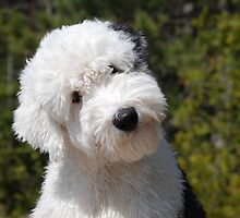 Loud Old English Sheepdog by welovethedogs