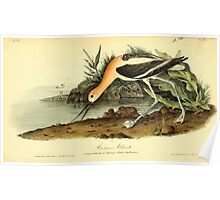 James Audubon Vector Rebuild - The Birds of America - From Drawings Made in the United States and Their Territories V 1-7 1840 - American Avocet Poster