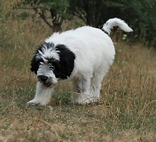 Furry Old English Sheepdog