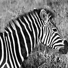Zebra Profile by rabeeker