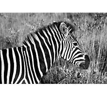 Zebra Profile Photographic Print