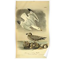 James Audubon Vector Rebuild - The Birds of America - From Drawings Made in the United States and Their Territories V 1-7 1840 - Herring or Silvery Gull Poster
