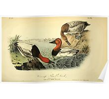 James Audubon Vector Rebuild - The Birds of America - From Drawings Made in the United States and Their Territories V 1-7 1840 - Canvas Back Duck Poster