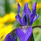 Siberian Iris by Lolabud