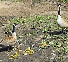 Canada Geese Family by Jan  Tribe
