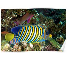 Regal Angelfish Poster