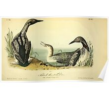 James Audubon Vector Rebuild - The Birds of America - From Drawings Made in the United States and Their Territories V 1-7 1840 - Black Throated Diver Poster