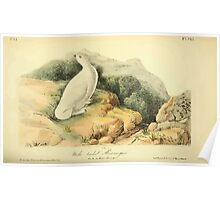 James Audubon Vector Rebuild - The Birds of America - From Drawings Made in the United States and Their Territories V 1-7 1840 - White Tailed Ptarmigan Poster