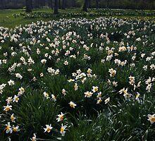 Daffodil Field by Adam Bykowski