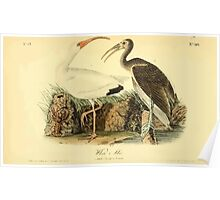 James Audubon Vector Rebuild - The Birds of America - From Drawings Made in the United States and Their Territories V 1-7 1840 - White Ibis Poster