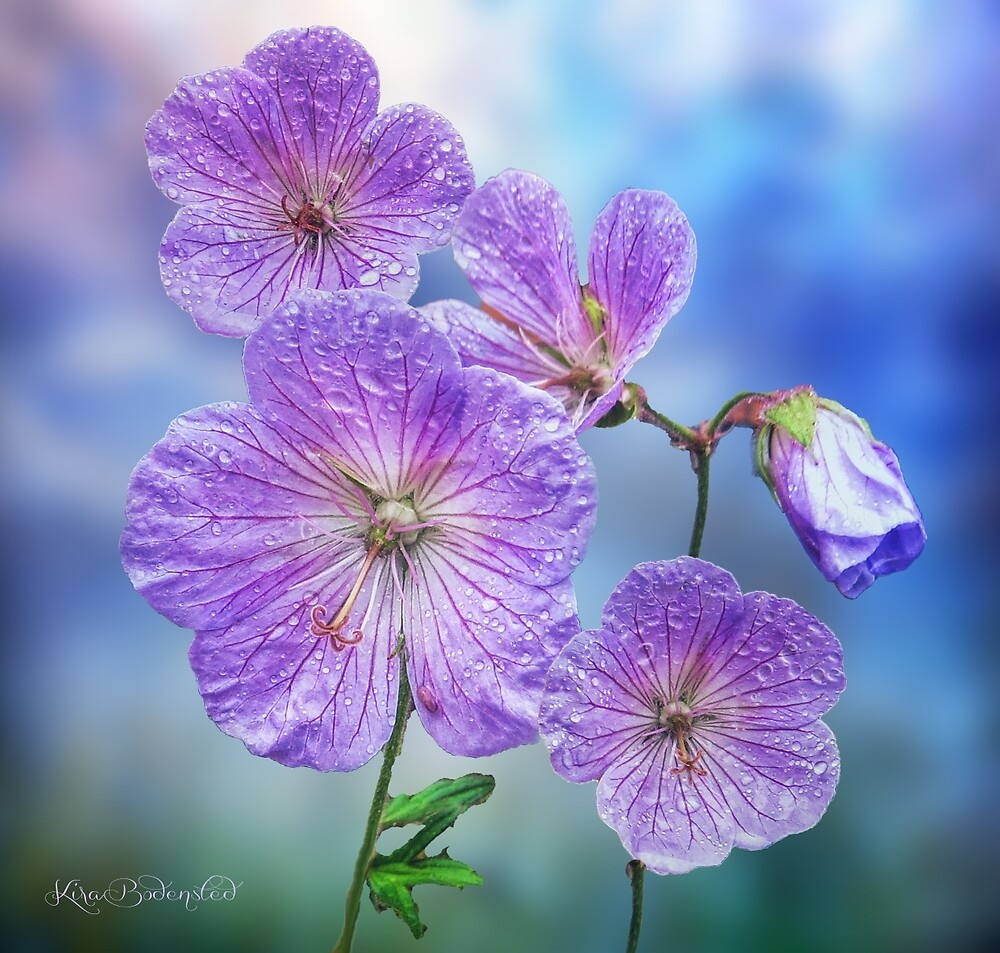 Summer showers are good for the flowers by © Kira Bodensted