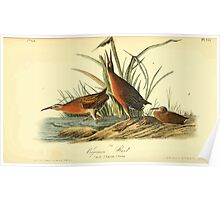 James Audubon Vector Rebuild - The Birds of America - From Drawings Made in the United States and Their Territories V 1-7 1840 - Virginian Rail Poster