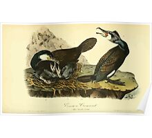 James Audubon Vector Rebuild - The Birds of America - From Drawings Made in the United States and Their Territories V 1-7 1840 - Common Cormorant Poster