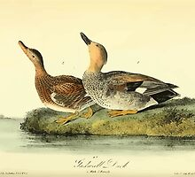 James Audubon Vector Rebuild - The Birds of America - From Drawings Made in the United States and Their Territories V 1-7 1840 - Gadwall Duck by wetdryvac