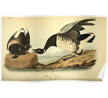 James Audubon Vector Rebuild - The Birds of America - From Drawings Made in the United States and Their Territories V 1-7 1840 - Brant Goose Poster