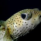 Puffer fish eye-ing off by jenitae