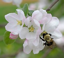 Springtime bumblebusy by okcandids