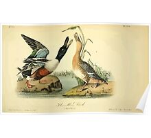 James Audubon Vector Rebuild - The Birds of America - From Drawings Made in the United States and Their Territories V 1-7 1840 - Shoveller Duck Poster