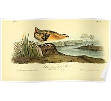 James Audubon Vector Rebuild - The Birds of America - From Drawings Made in the United States and Their Territories V 1-7 1840 - Yellow Breasted  Rail Poster