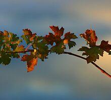 Vine by OzShell
