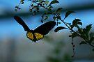 Golden Birdwing butterfly - on the wing by David Clarke