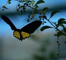 Golden Birdwing butterfly - on the wing by David Clarke