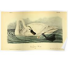 James Audubon Vector Rebuild - The Birds of America - From Drawings Made in the United States and Their Territories V 1-7 1840 - Trumpeter Swan Poster
