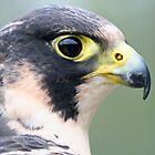 Peregrin Falcon by Stefanie Köppler