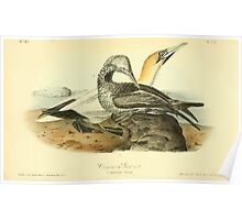 James Audubon Vector Rebuild - The Birds of America - From Drawings Made in the United States and Their Territories V 1-7 1840 - Common Gannet Poster