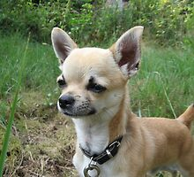 Unbelievable Chihuahua (Smooth Coat)