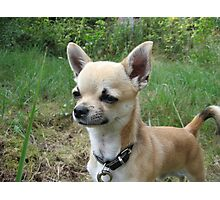 Unbelievable Chihuahua (Smooth Coat) Photographic Print