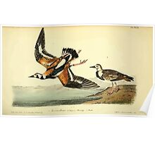 James Audubon Vector Rebuild - The Birds of America - From Drawings Made in the United States and Their Territories V 1-7 1840 - Turnstone Poster