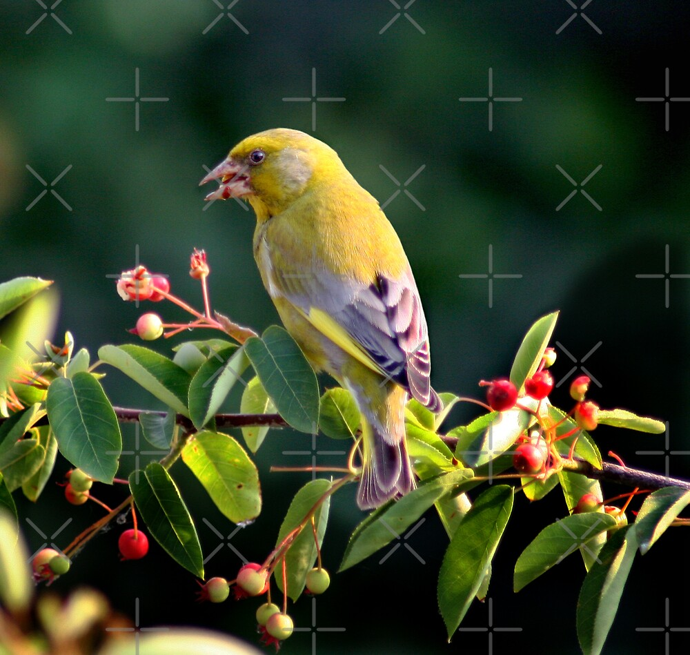 Greenfinch by Geoff Carpenter