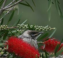 Bird in Bottle Brush by Paula Bone