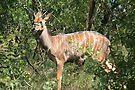 Young kudu by zumi