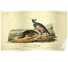 James Audubon Vector Rebuild - The Birds of America - From Drawings Made in the United States and Their Territories V 1-7 1840 - Californian Partridge Poster