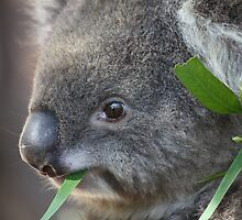 koala by Steve Scully