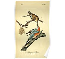 James Audubon Vector Rebuild - The Birds of America - From Drawings Made in the United States and Their Territories V 1-7 1840 - Passenger Pigeon Poster