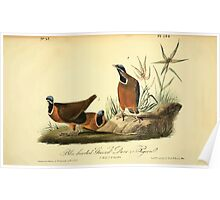 James Audubon Vector Rebuild - The Birds of America - From Drawings Made in the United States and Their Territories V 1-7 1840 - Blue-headed Ground Dove  Poster