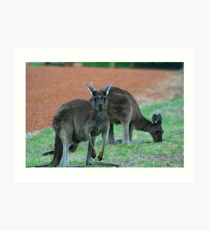 Australian Western Grey Kangaroos Art Print