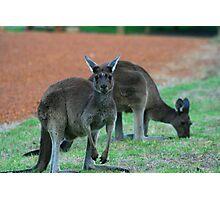 Australian Western Grey Kangaroos Photographic Print