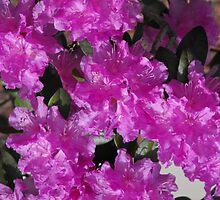Pink by Tracy Wazny